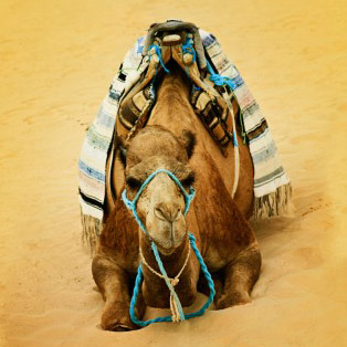 "Set healthy boundaries against the ""camels"" in your life!"